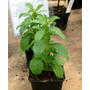 Stevia, La Planta De Hoja Dulce Y Medicinal, Salud, Ecuador