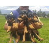 Vendo Excelentes Ejemplar Rottweiler De 2 Mese Envíos A Todo