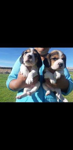 Beagle Tricolor  Envíos Y Entregas A Todo El País