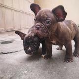 Bulldog Francés Cachorros Vacunados Y Desparasitados