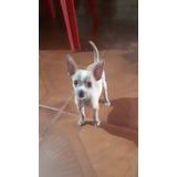 Cachorritos Chihuahua Mini De Cartera De Pedigree