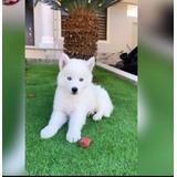 Cachorros Husky Siberiano Blanco  Puros 100%
