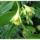 Planta De Vainilla Las Orquídeas Tropicales Del Ecuador