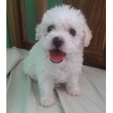 Cachorritos Tacita De Te French Poodle Mini Toy