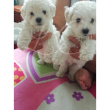 Cachorros French Poodle Puros
